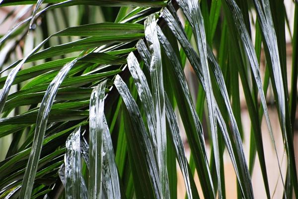 5月9日。雨天绿油油的大王椰叶子