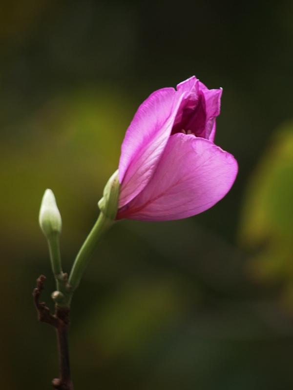 洋紫荆花苞
