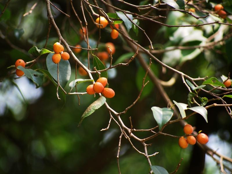 细叶榕果3