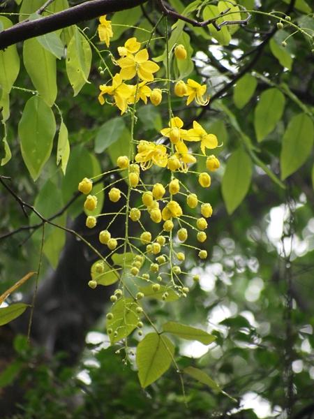 06腊肠树
