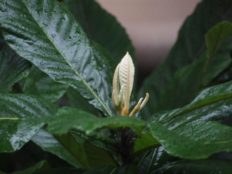 13枇杷花苞