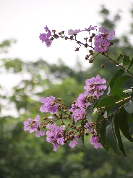 04大叶紫薇