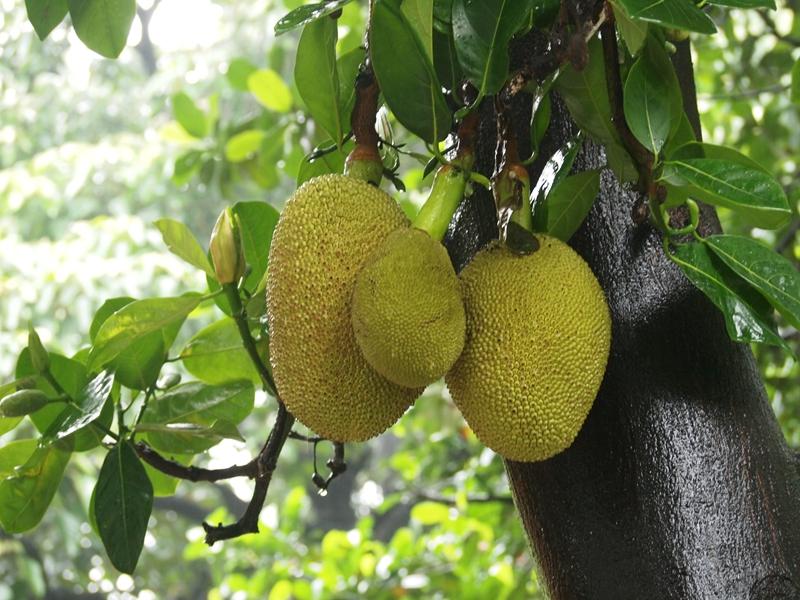 05树菠萝