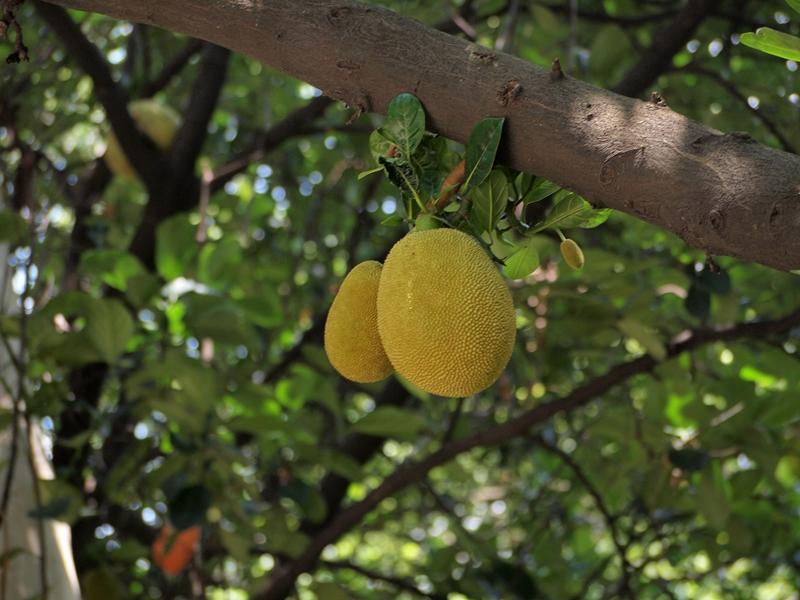 04菠萝蜜