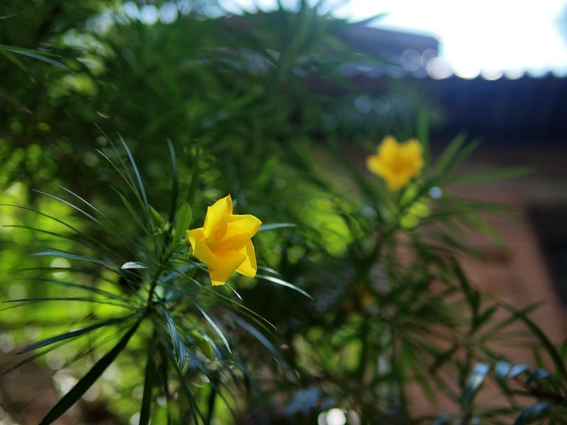 15黄花夹竹桃