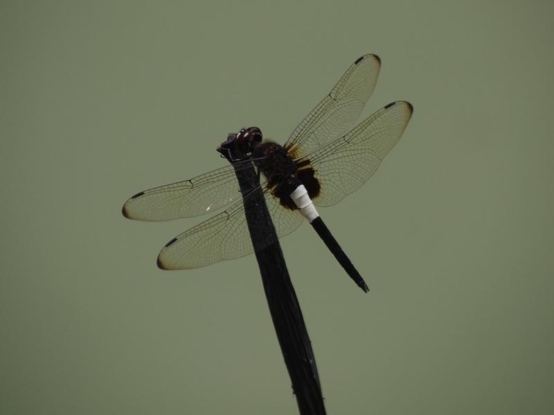 24玉带蜻