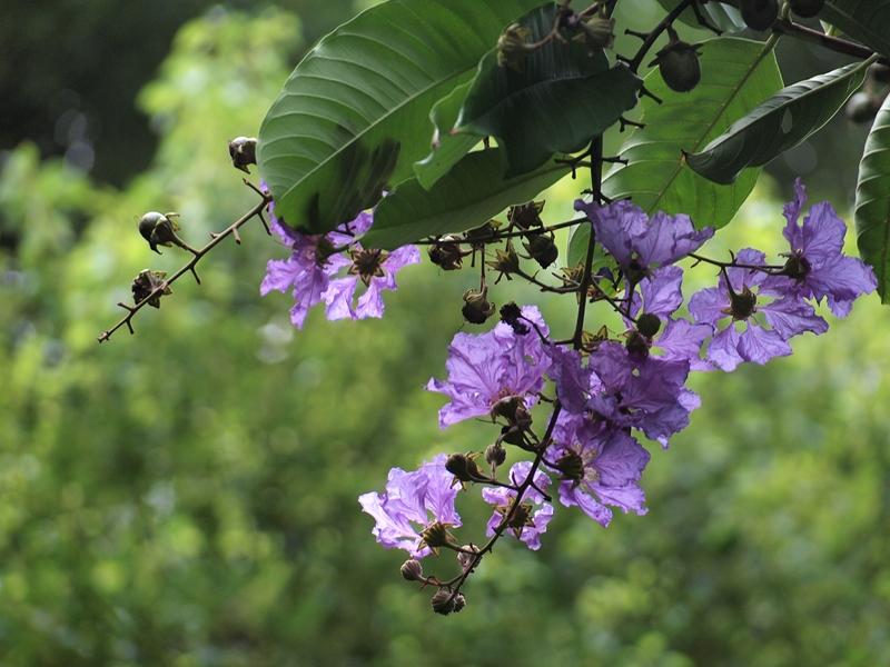 06大叶紫薇