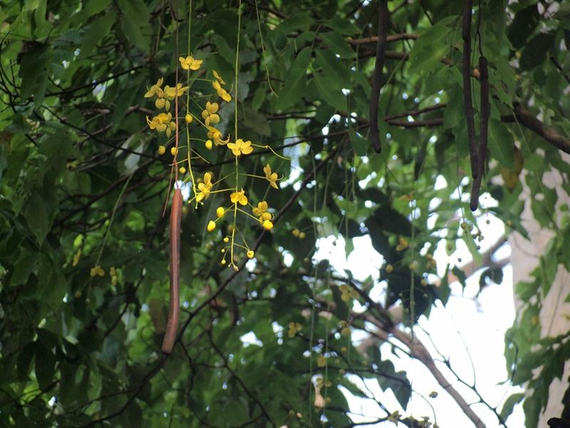 07腊肠树