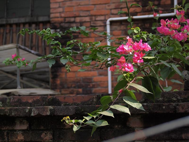 11叶子花