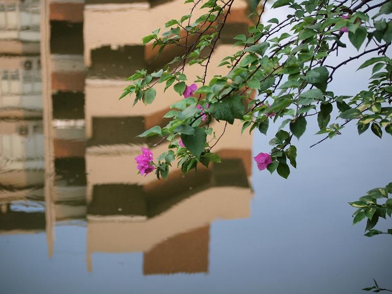 12叶子花