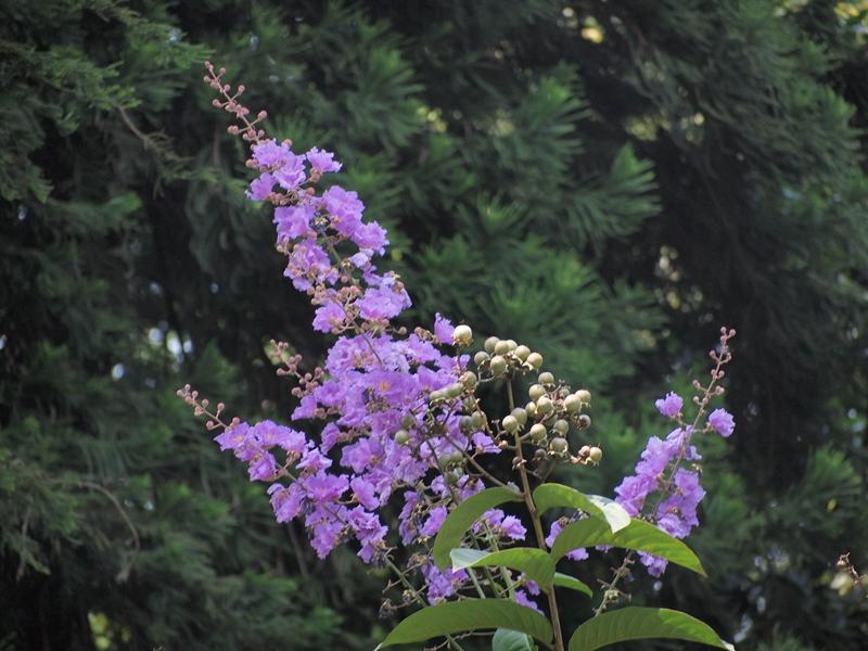 14大花紫薇
