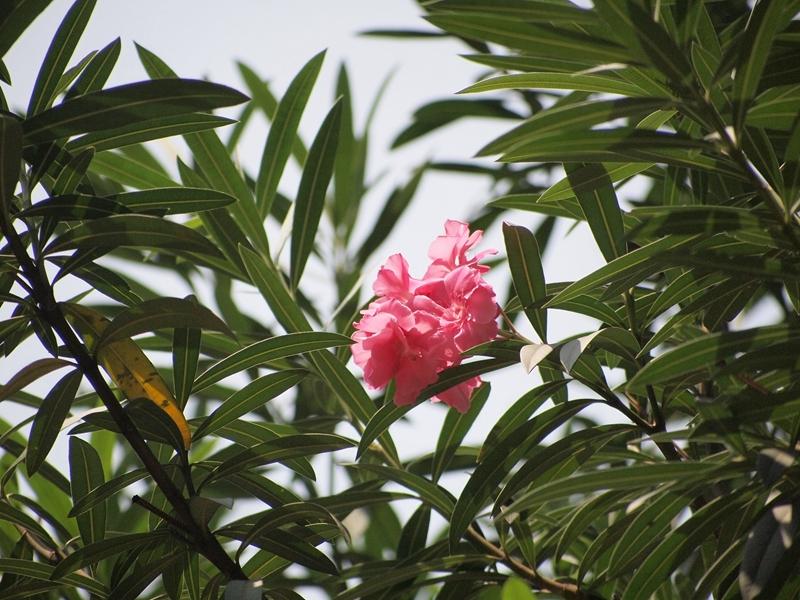 21粉花夹竹桃