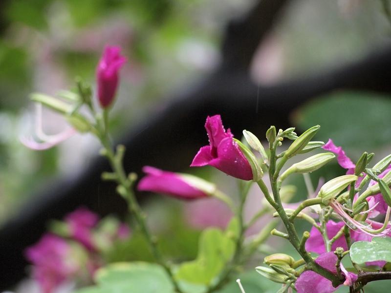 06红花羊蹄甲
