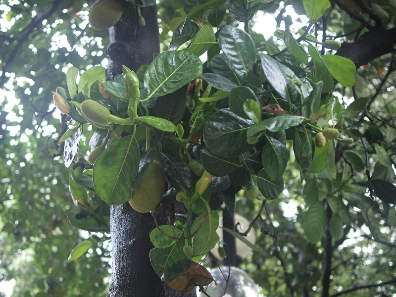 09树菠萝