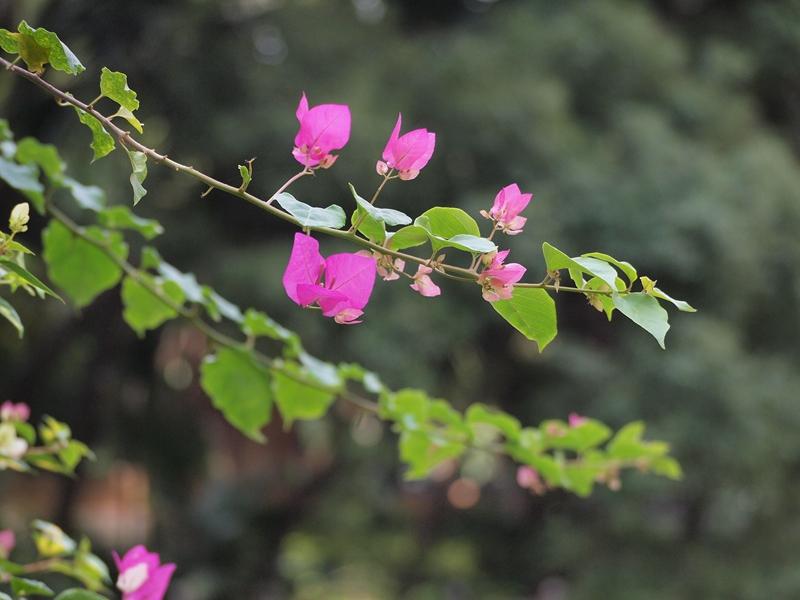 19勒杜鹃(叶子花)