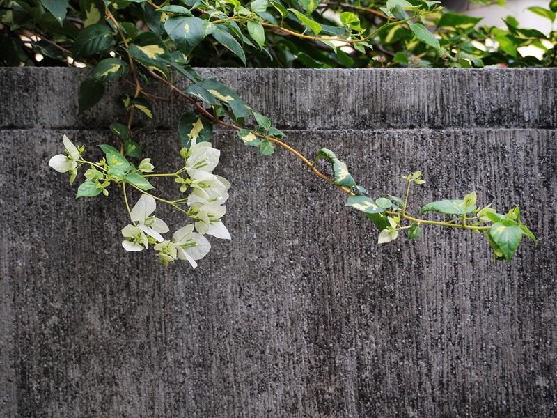 20勒杜鹃(叶子花)白
