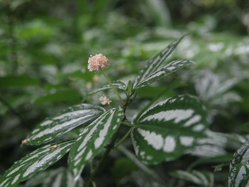 24冷水花