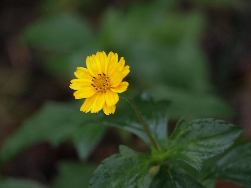 25三裂叶蟛蜞菊