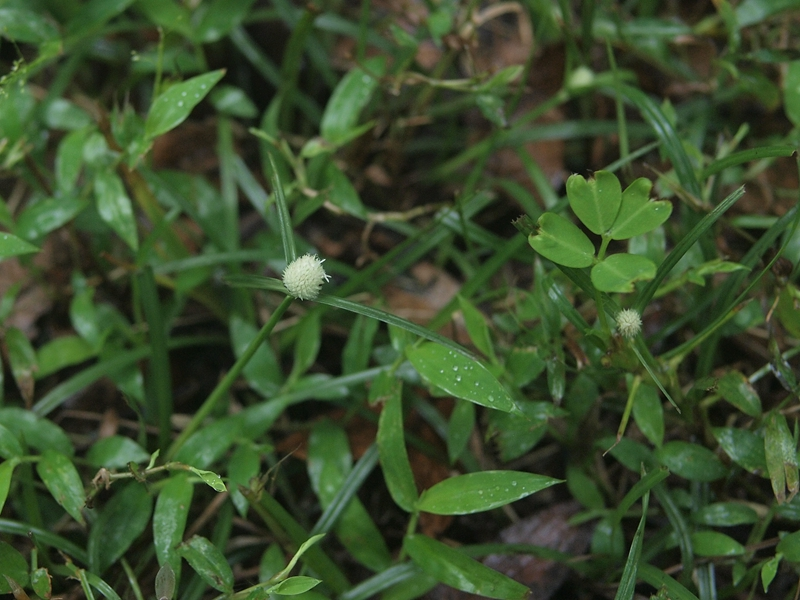 27短叶水蜈蚣