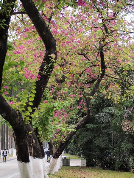 07红花羊蹄甲(树)