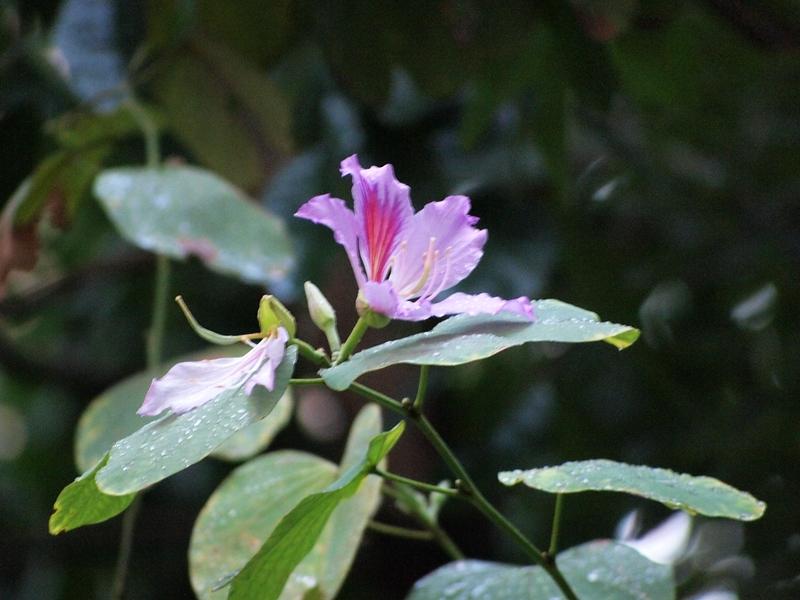 10洋紫荆