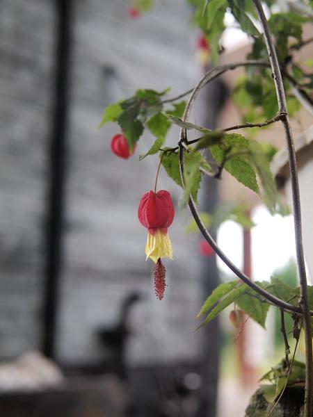 10红萼苘麻