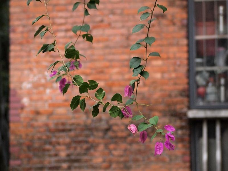 17叶子花
