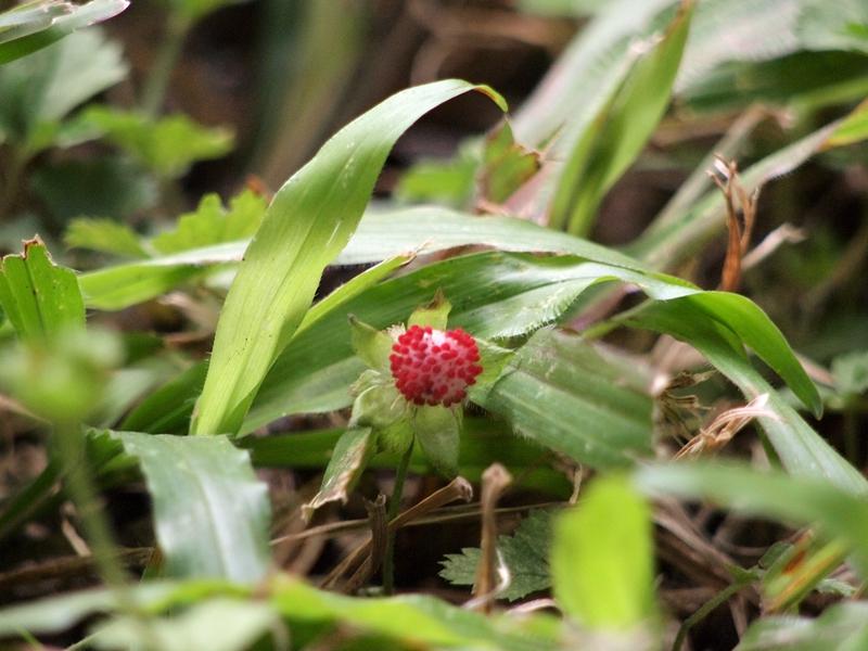 21蛇莓(果)
