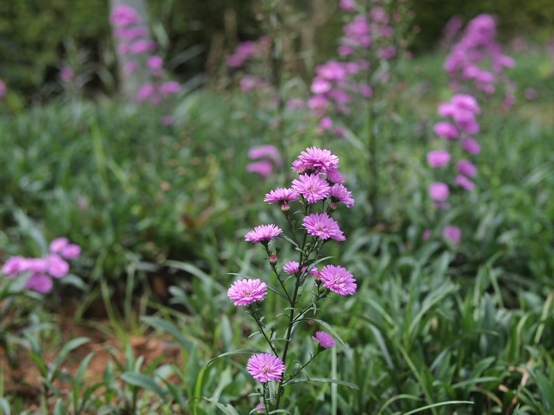 27荷兰菊