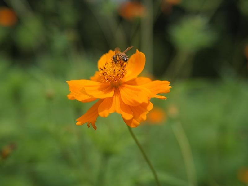 28黄波斯菊