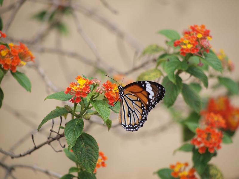 43黑脉桦斑蝶