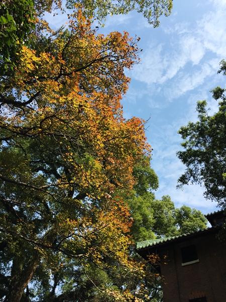 01枫香(树)