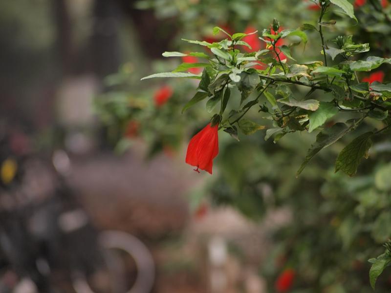 15垂花悬铃花