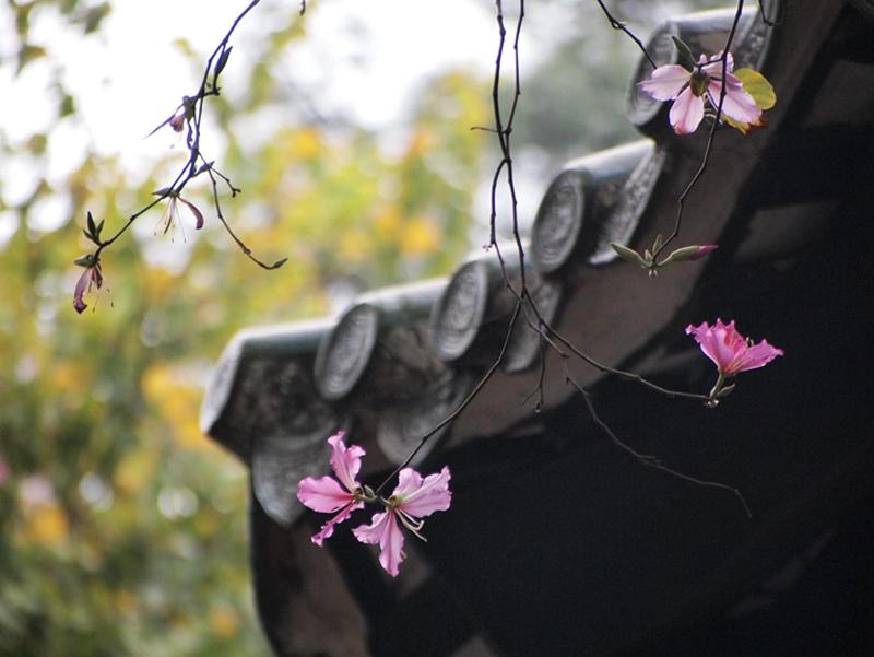 09洋紫荆