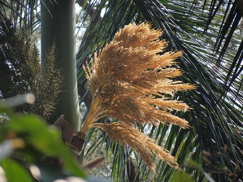 12大王椰子