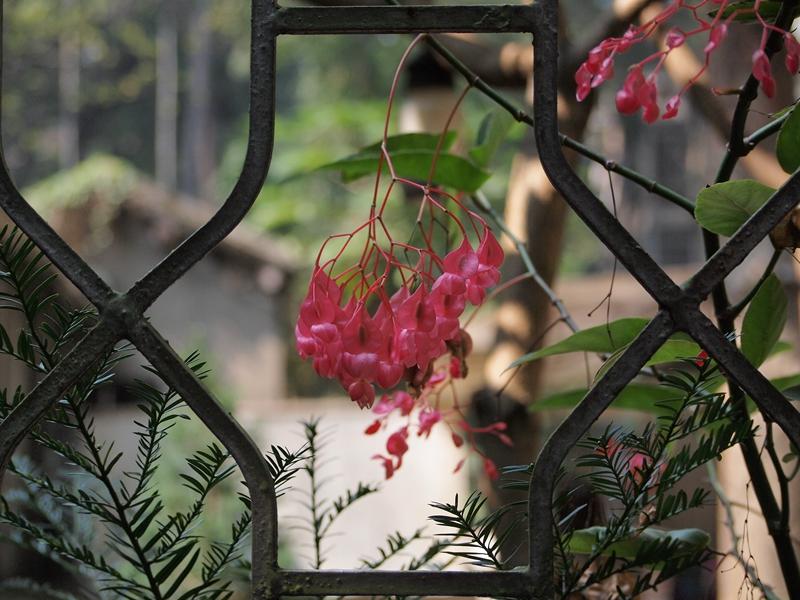 16斑叶竹节秋海棠