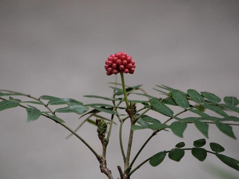 24红绒球(未开)