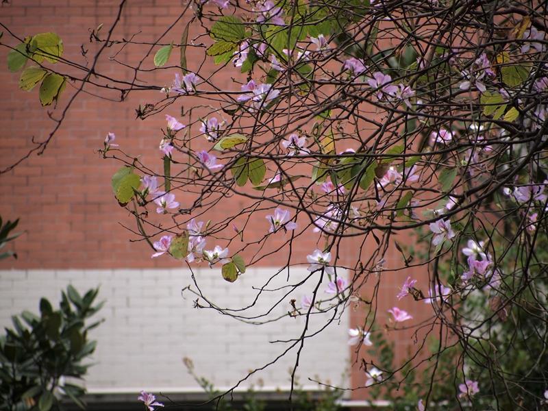 07洋紫荆