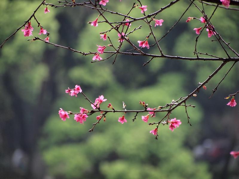 11钟花樱桃