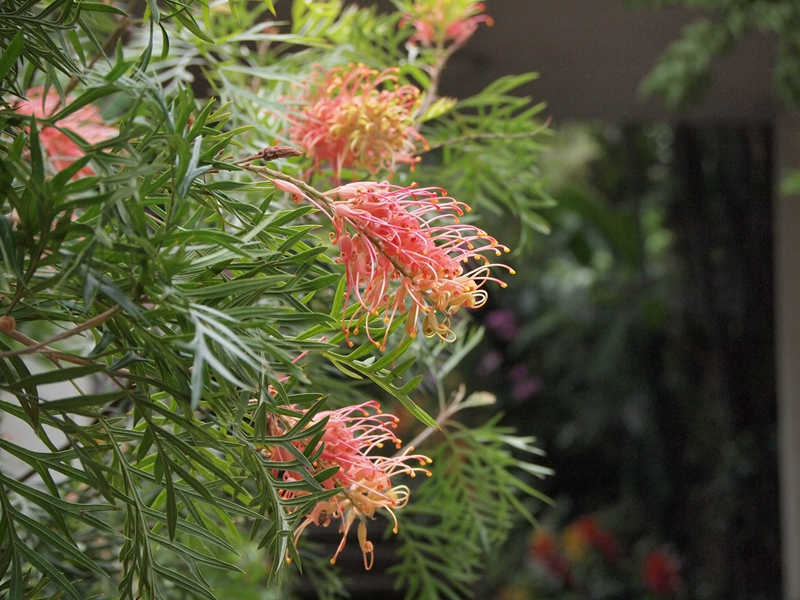 19红花银桦