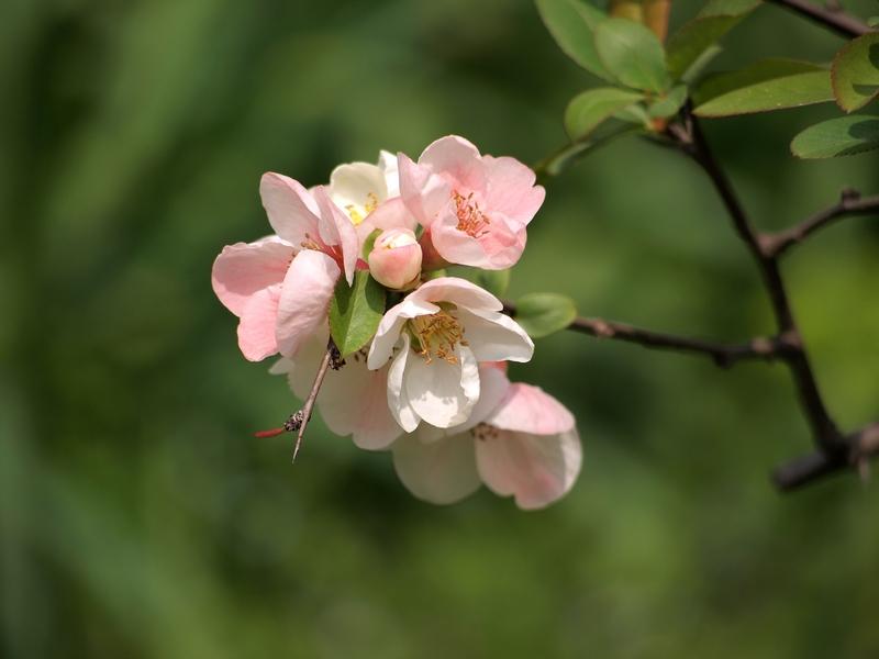 18木瓜海棠属