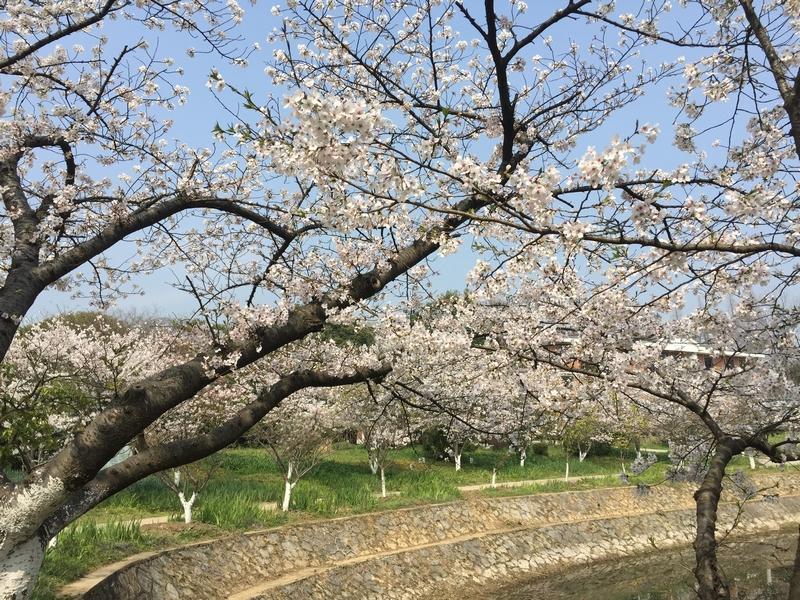 22日本樱花0