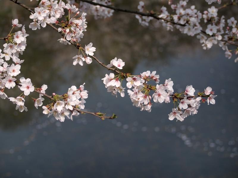 24日本樱花3