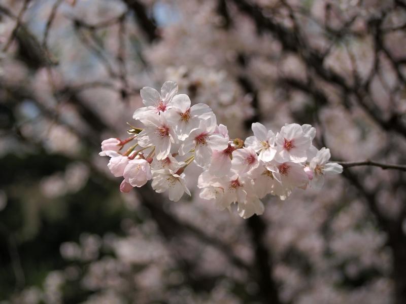 24日本樱花4