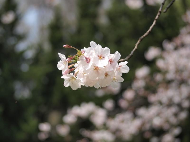 26日本樱花5