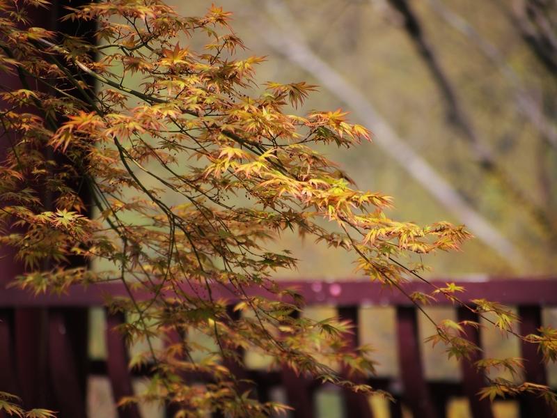29鸡爪槭