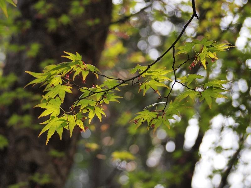 30鸡爪槭2