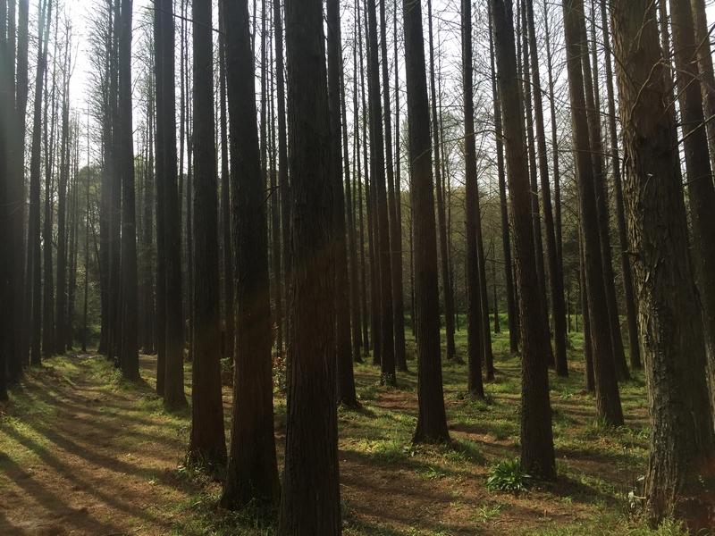 32杉树林